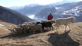 Schutzhunde - Bellende Schafe
