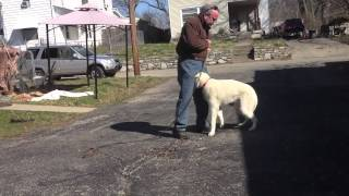Cincinnati Dog Trainer Training  Aggressive Husky Obedience