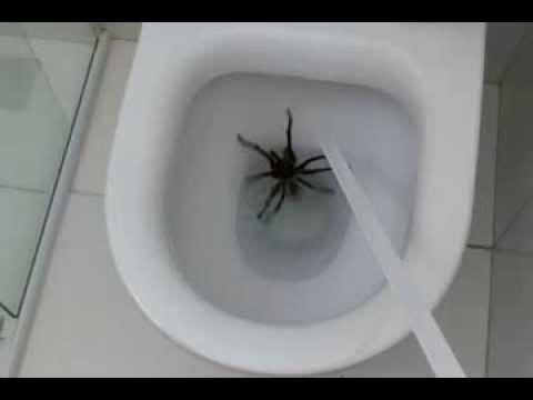 Aranha na privada (ler descrição do vídeo) - YouTube
