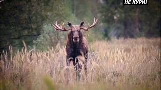 Трофейная охота на лося в Республике Беларусь. Охота на лося с вабой . 2018