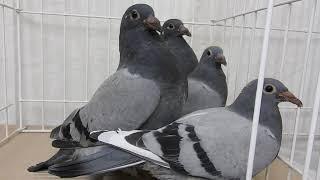 Żniwiarze i Wyżymacze , pierwsze młode gołębie !