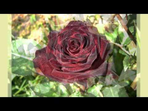 ЦВЕТЫ: ЧЕРНАЯ РОЗА. Black rose flower - YouTube