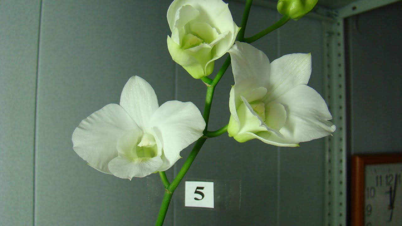 дендробиум фаленопсис уход цветонос