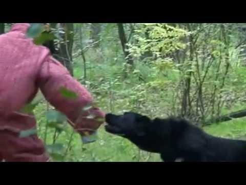 Central Asian Shepherd dog test, közép-ázsiai juhász őrző-védő
