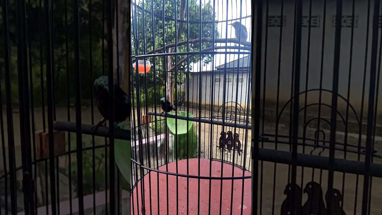 Konin Bongkar Isian Konin Kicaumania Kolibrininja Youtube
