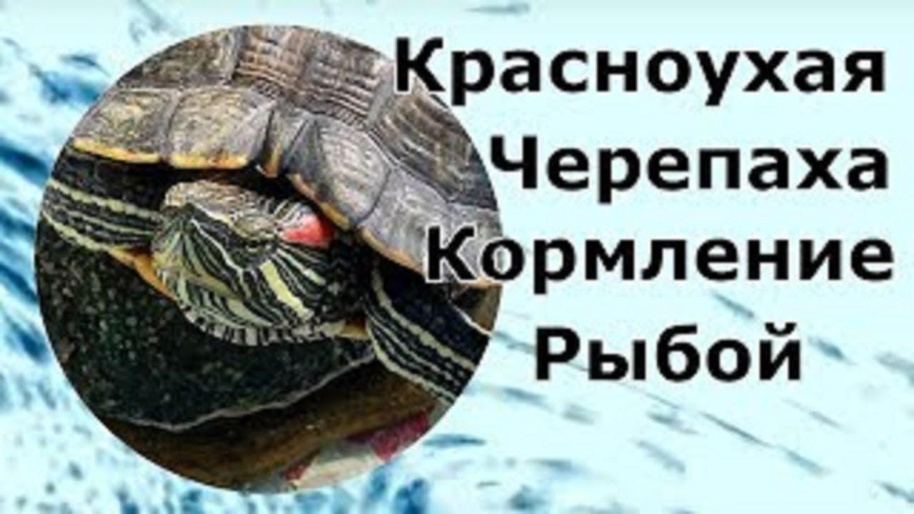 Чем кормить красноухую черепаху: корм для черепах | 720x1280