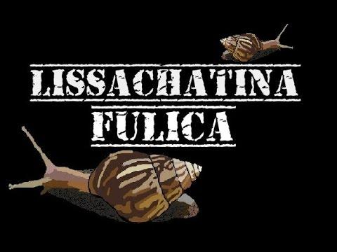 [Species] Lissachatina fulica (ślimak olbrzymi) - opis gatunkowy