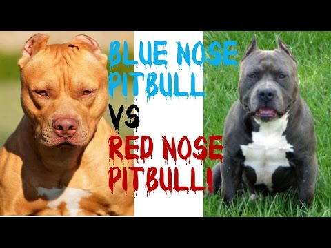 Blue Nose Pitbulls VS Red Nose Pitbulls!!! Pt. 2