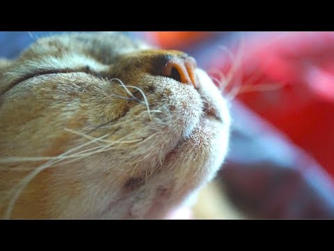 ASMR grooming cat (devon rex) #6