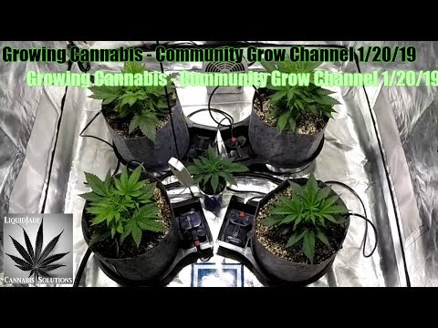 Growing Cannabis  - Community Grow Channel 1-20-19