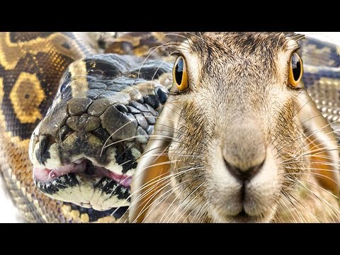 African Rock Python Takes a Rabbit