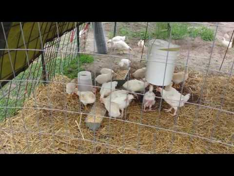 RAISING CORNISH CROSS MEAT CHICKENS