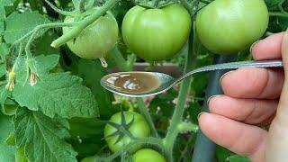 Делаю так в июне и томаты никогда не болеют