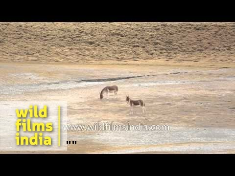 Wild Ass or Kiang forages on salt pans in Ladakh