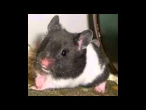 Hamster s rio panda youtube - Hamster russe panda ...