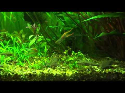 African Dwarf Frogs eating and humming