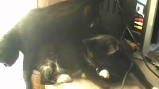 Трогательная нежность котов x264