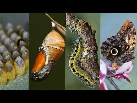 Чудесное превращение гусеницы в бабочку