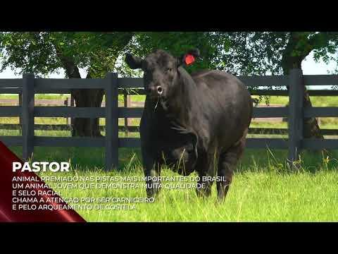 Touro Pastor - Brangus indicado para IATF - RENASCER BIOTECNOLOGIA VIDEO