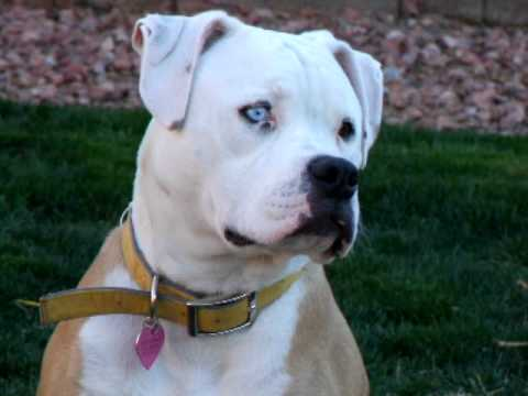 Blue Eyed American Bulldog At 6 Months Old Part 1 Youtube