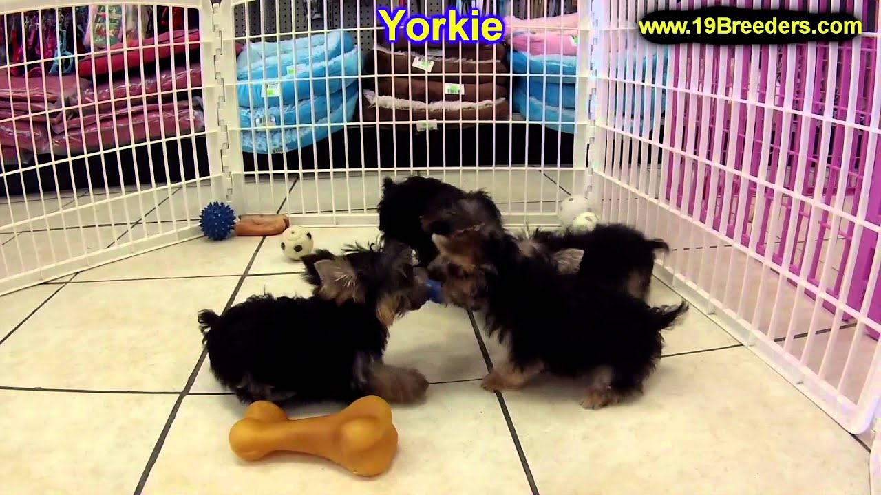miniature yorkshire terriers for sale in essex