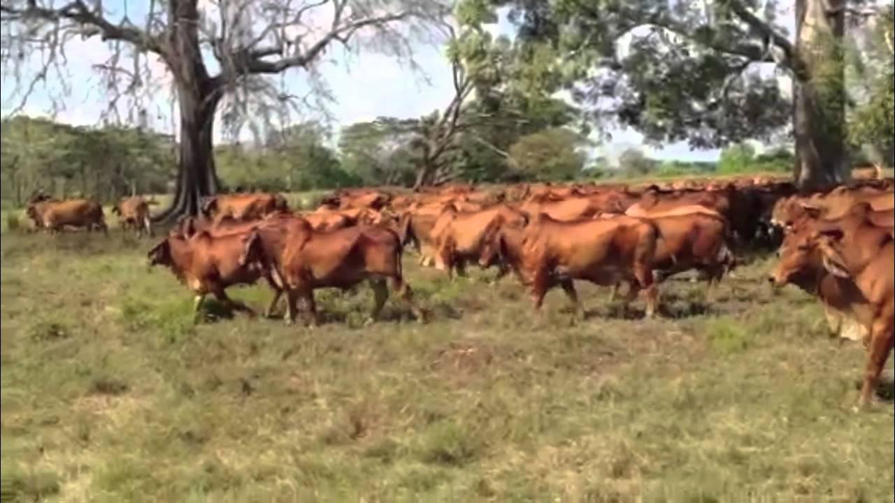 Familia valle monarcas de Honduras dominan con la exportación de su carne a Suiza donde se vende a 1000 euros el gramo