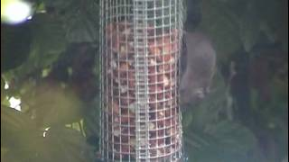 Wood Mice On Bird Feeder
