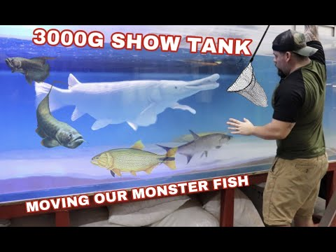 ADDING NEW MONSTER FISH TO OUR 3000G SHOW TANK