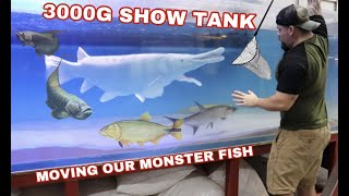 adding-new-monster-fish-to-our-3000g-show-tank