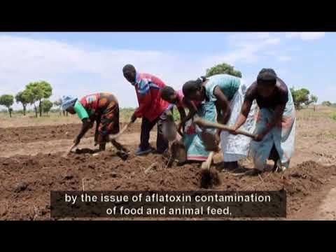 Living Land - Episode 26: Groundnuts in Malawi