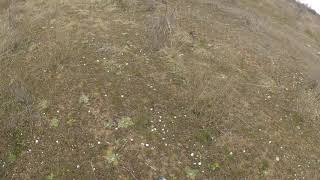 Английский сеттер Багира-Астра по бегущей паре куропаток. 20.03.19. Крым