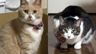 ゴム遊びする♀猫こむぎvsならず者♂猫だいず またゴム 検索動画 30
