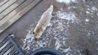 Лисица полярная