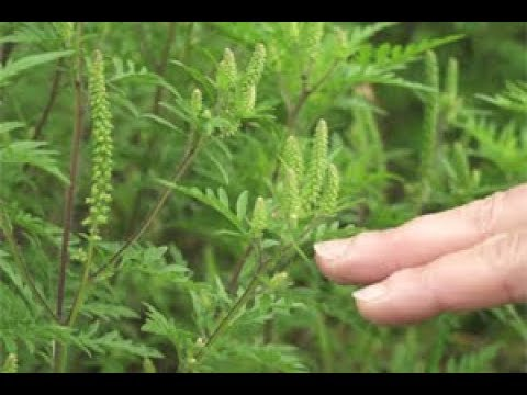 L'ambroisie, une plante invasive - YouTube