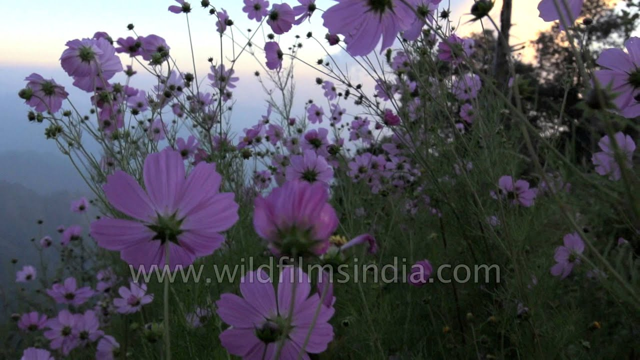 Cosmos Flowers Carpet The Hillside Wilderness Orchard In The
