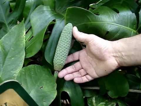 How to tell Monstera deliciosa from Philodendron bipinnatifidum