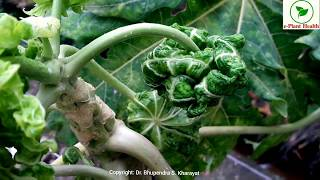 Leaf Curl of Papaya: Diagnosis and Management