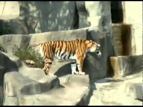 Тигр испугался птичку