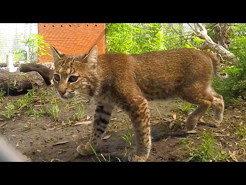 Checking In On Nova The Rehab Bobcat
