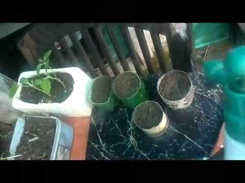 how tomato cultivation in Oppen terrace