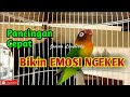 Suara Lovebird Fighter Ngekek Panjang, Pancingan Cepat bikin Emosi Ngekek