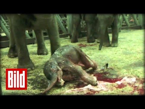 Elefanten-Babys plumpsen ins Leben - Geburt im Erlebnis-Zoo Hannover