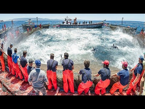 World Big Catch Fishing Tuna With Big Boat - Lot Of Live Fish Cactching At Sea