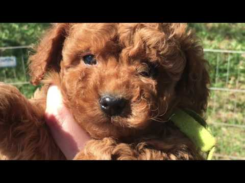 Pictures of petite goldendoodles
