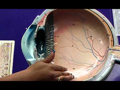 EYE ANATOMY MODEL #2 - YouTube