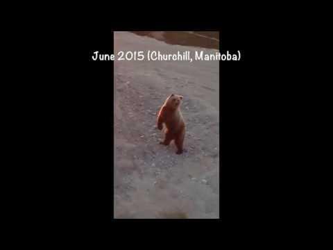 Grolar Bear in Churchill