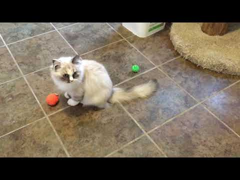 RagaMuffin Kittens- Imperial Rags Rosemary