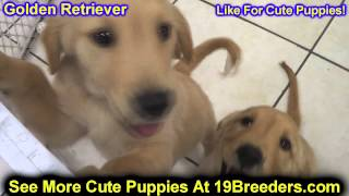 Golden Retriever, Puppies, For, Sale, In, Philadelphia, Pennsylvania, Pa, Borough, State, Erie, York