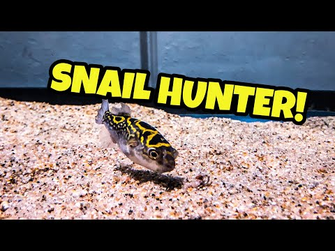 Puffer Added To Mudskipper Brackish Aquarium