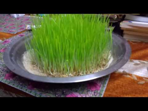 If you include this miracle Herb(wheat grass) in your diet it will immensely improve your health.